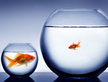 Studio shot of a fish in bowl